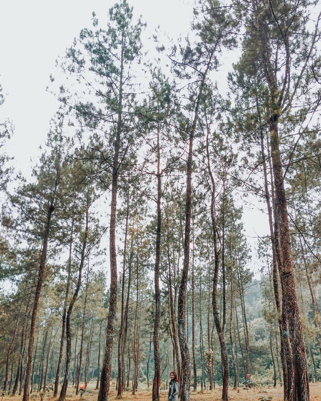 9 Hutan Pinus Yang Bikin Adem Di Malang Raya Amazing Malang